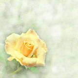 A beautiful yellow rose in garden Stock Images