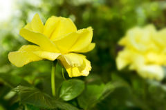 Beautiful yellow rose in a garden. Royalty Free Stock Image