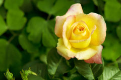 Beautiful yellow rose in a garden. Stock Image