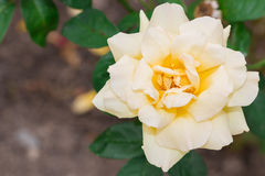 Beautiful yellow rose with green leaf in flower garden. Royalty Free Stock Images