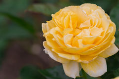 Beautiful yellow rose with green leaf in flower garden. Stock Photography