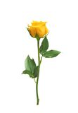 Beautiful yellow rose isolated. On white background Stock Photography
