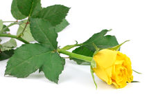 Beautiful yellow rose isolated on white background.. Stock Photo