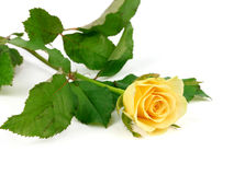 Beautiful yellow rose isolated on white background. Royalty Free Stock Image