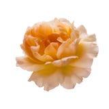 beautiful  yellow rose Stock Photography