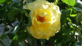 Beautiful Yellow Rose In Natural Light. Beautiful Yellow Rose With Natural Light Stock Image