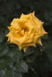 Beautiful yellow rose with rain drops Royalty Free Stock Image