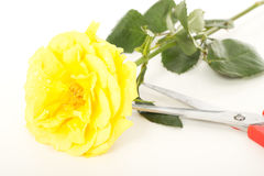 Yellow rose with water drops Stock Images