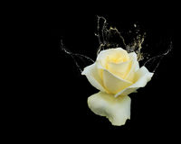 Beautiful yellow rose with water splashes Royalty Free Stock Photos