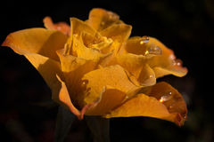 Beautiful yellow rose which is hit by sunlight. A yellow rose covered with rain drops after a rainfall. Sunlight is shining through the petals making it Stock Photography