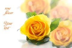 Beautiful yellow rose Stock Images