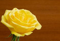 Beautiful yellow rose Royalty Free Stock Photo