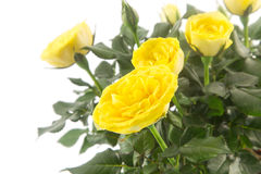 Beautiful yellow roses against white Royalty Free Stock Photo