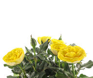 Beautiful yellow roses against white Royalty Free Stock Images