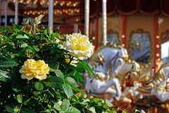 Yellow roses on the background of the carousel. Beautiful yellow roses on the background of the carousel royalty free stock photos