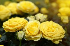 Beautiful yellow roses. The flowers in the garden. Wallpaper Royalty Free Stock Image