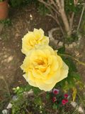 Beautiful Yellow roses. Benfica in Lisbon Royalty Free Stock Photos