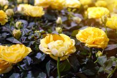 Beautiful yellow roses. The flowers in the garden. Wallpaper Royalty Free Stock Photos