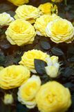Beautiful yellow roses. The flowers in the garden. Wallpaper Stock Photography