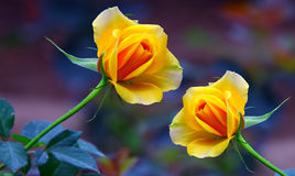 Beautiful yellow roses Stock Photos