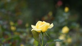 Beautiful Yellow roses. stock video