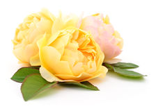 Beautiful yellow roses. Royalty Free Stock Photography