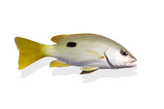Beautiful yellow sea perch isolate Royalty Free Stock Images