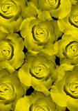 Beautiful yellow shining roses Stock Image