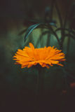 Beautiful yellow single flower. Abstract dark background. Space in background for copy, text, your words.  Stock Image