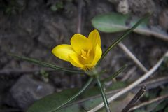 Beautiful yellow spring flower close up in january Royalty Free Stock Photos