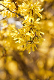 Beautiful yellow spring flowers Royalty Free Stock Photography