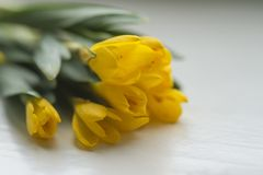 Beautiful Yellow Spring Flowers Crocus. Group of yellow closed crocuses Royalty Free Stock Images