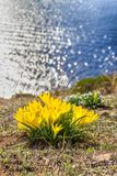 Beautiful yellow spring flowers crocuses on the water background. First spring flowers royalty free stock photo