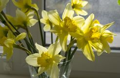 Yellow narcissus. Beautiful, yellow spring flowers daffodils Stock Images