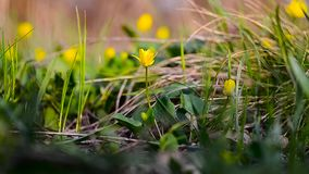 Beautiful yellow spring flowers sway with wind in Park, In forest blossomed yellow Ficaria verna. Beautiful yellow spring flowers sway with wind in Park, In stock video