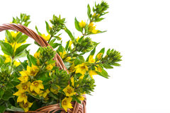 Beautiful yellow summer flowers Royalty Free Stock Image