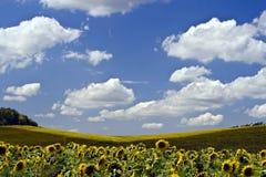Beautiful yellow sunflower. Fields, blue sky Royalty Free Stock Photo