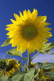 Beautiful yellow sunflower. Isolated over blue Stock Photography