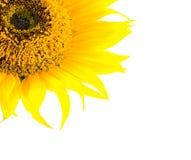 Beautiful yellow Sunflower Stock Image