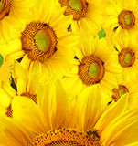 Beautiful yellow sunflower Royalty Free Stock Photos