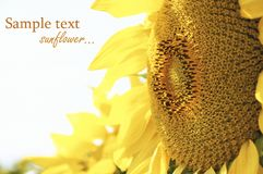 A beautiful yellow sunflower Stock Photo