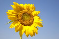 Beautiful yellow Sunflower Stock Images
