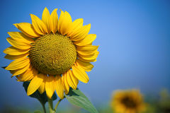 Beautiful yellow sunflower. On spring field. Shoot was taken with warm polarized filter stock photo