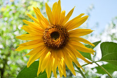 Beautiful yellow sunflower Stock Image