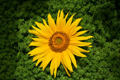 Beautiful yellow sunflower Royalty Free Stock Image