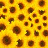 Beautiful yellow Sunflower Royalty Free Stock Photos