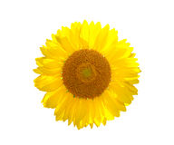 The beautiful yellow Sunflower Stock Photo
