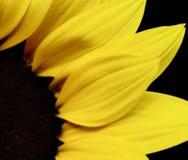 Beautiful yellow sunflower Royalty Free Stock Image