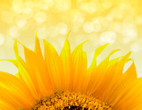 Beautiful yellow Sunflower Stock Photography