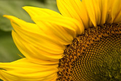 Beautiful, yellow sunflower. Green background royalty free stock images